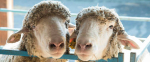 THE DUTCHESS COUNTY SHEEP & WOOL GROWERS WELCOME YOU TO THE NEW YORK STATE SHEEP AND WOOL FESTIVAL
